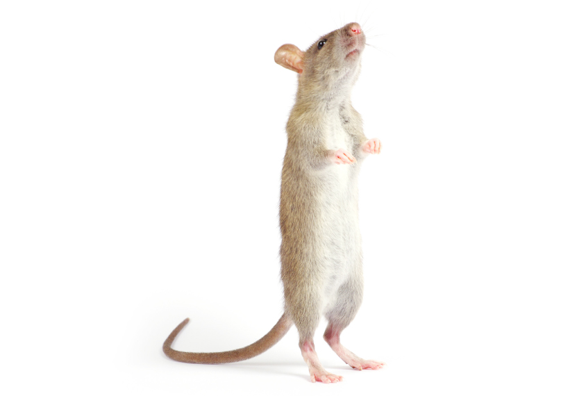 Light brown rat stand on hind legs, sniffing and listening