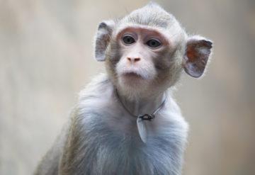 Monkey looks to the left.