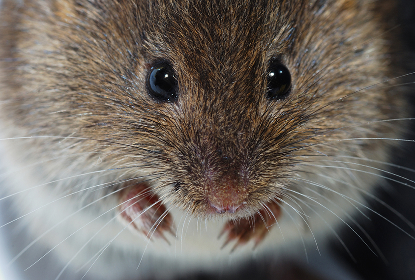 Close up of mouse shows whiskers
