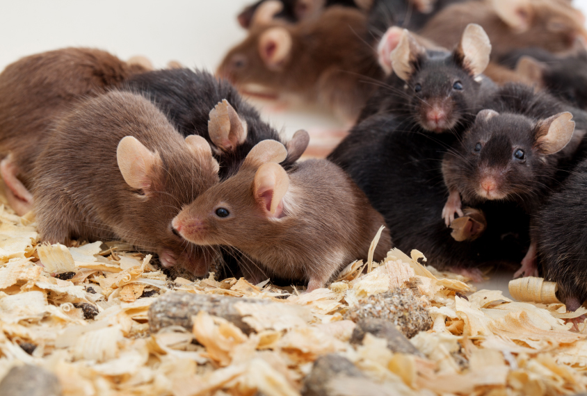 Brown and black mice in a cage, socializing