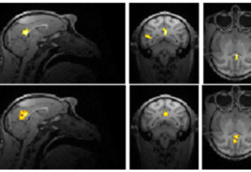 fMRIs of monkey brains in a grid of 6 show highlighted areas.