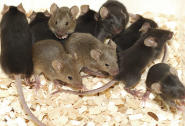 group of dark furred lab mice huddling together.