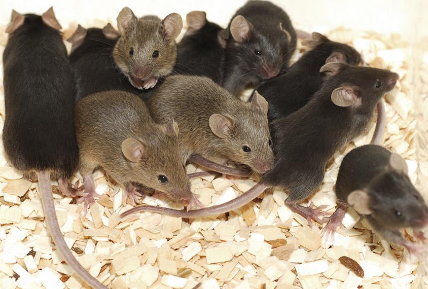 group of dark furred lab mice huddling together.