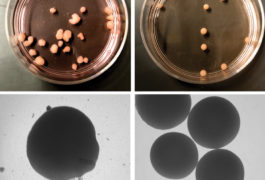 organoids in petri dishes