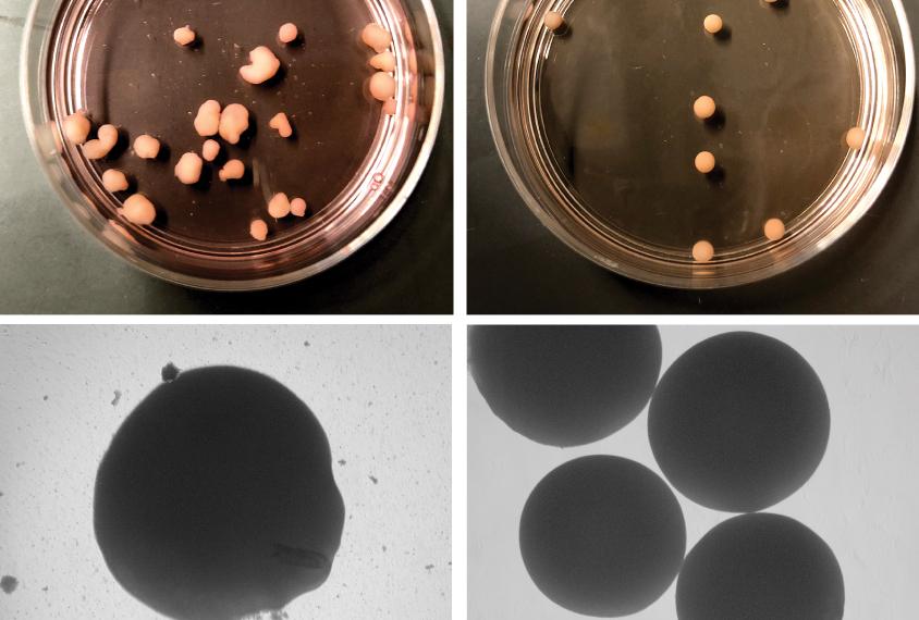 organoids in petri dishes