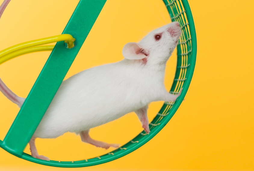 white mouse on a green activity wheel