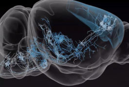 Neurons inside mouse brain are highlighted in a 3D view