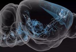 老鼠大脑内的神经元在3D视图中被突出显示