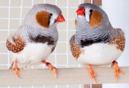 坐栖息在笼子的两只雄性雀科。