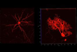 两对神经元显示为红色。