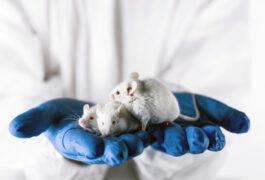 实验室的老鼠