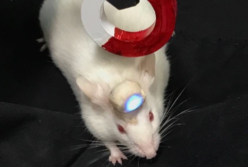 Mouse with optpgenetic device in its head