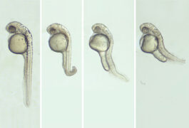 Zebrafish embryos with various deformities.
