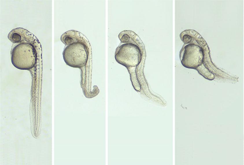 各种畸形的斑马鱼胚胎。