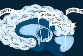 四个标有旗帜的大脑区域:皮层,杏仁核,海马体,小脑