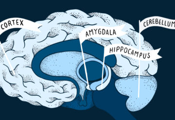 four brain areas marked with flags: Cortex, amygdala, hippocampus, cerebellum