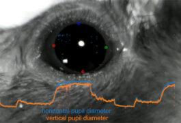 扩张小鼠瞳孔