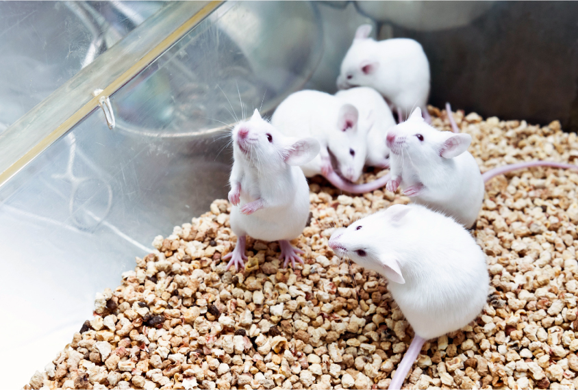 Lab mice in cage