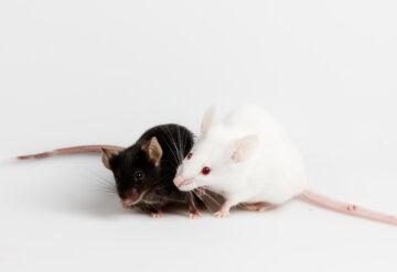 two mice interacting.