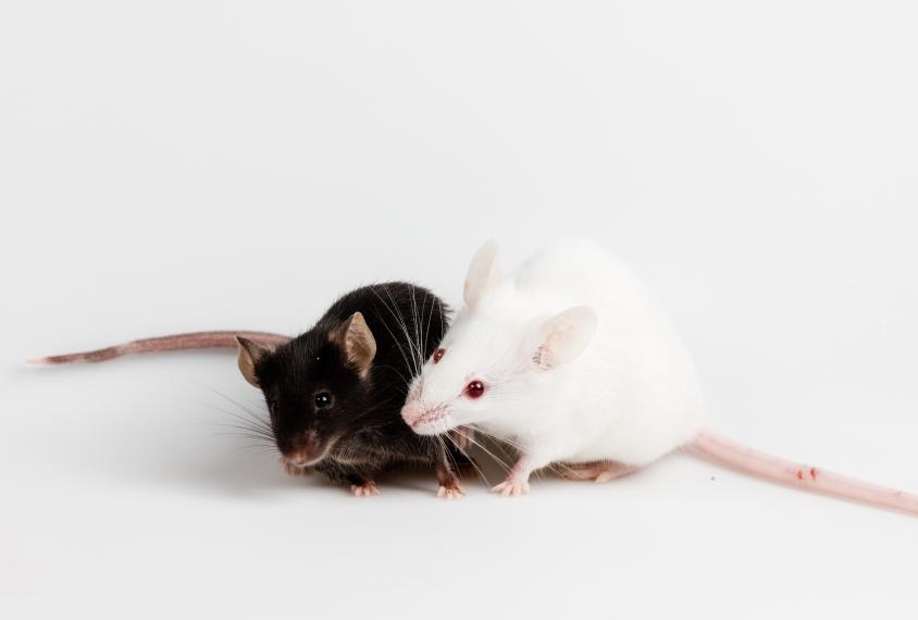 两只小鼠的互动。GydF4y2Ba