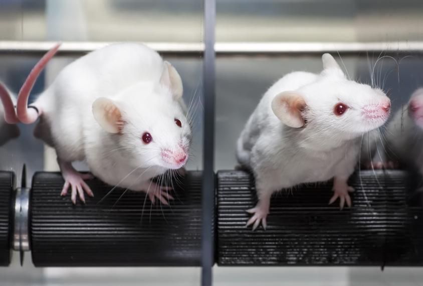 两只老鼠在旋转杆机器里