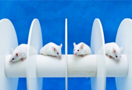 Four white mice on a rotarod, blue background.