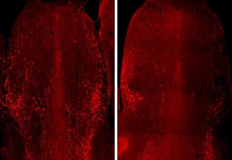 老鼠的大脑切片显示为红色