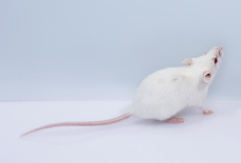 小白鼠在看画面外的东西