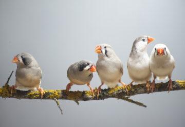 Singing zebra finches