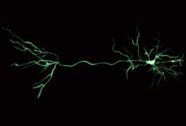 一个绿色神经元的数字式翻译在黑色的