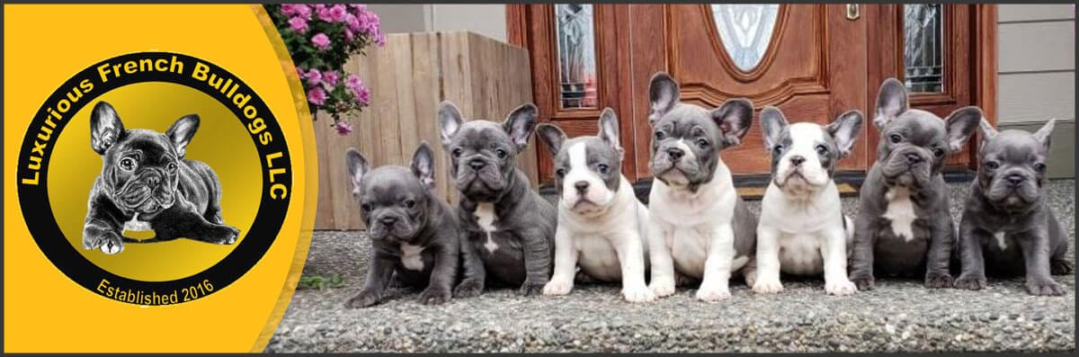 Luxurious French Bulldog Is A Dog Breeder In Bellingham Wa