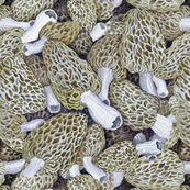 Morel Dilemma
