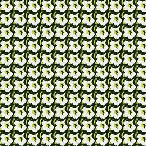 primrose2