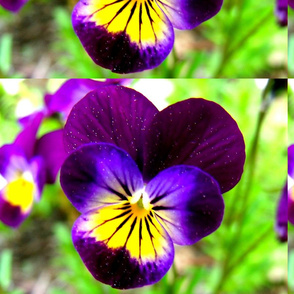 violet_and_green_brilliance