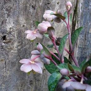 Helleborous 'pink marble' edited