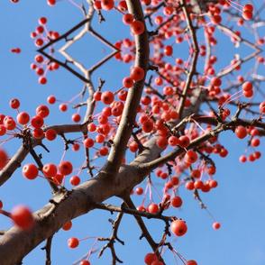 red fall berries