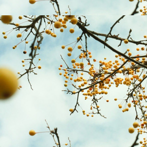 yellow fall berries