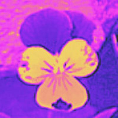s_e_c_purple_and_yellow_johnie-jump-ups_6_28_09_006