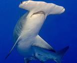 Rhammerhead_shark_thumb