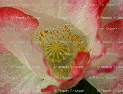 White-red_poppy_11x14