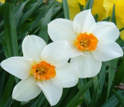 edit_3_stretch_daffodils