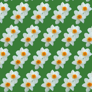 daffodils_with_green_background