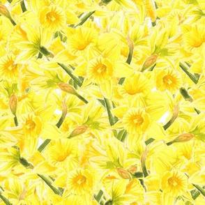 Daffodil Explosion