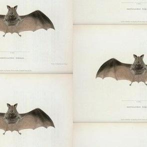 Vintage Printable - Bat zoological illustration