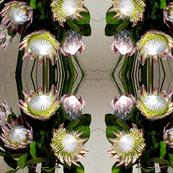 Proteas - wonderful dramatic flowers