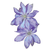 Clematis176large-spoon