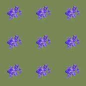 Iris Pondside