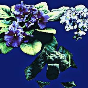 African Violets