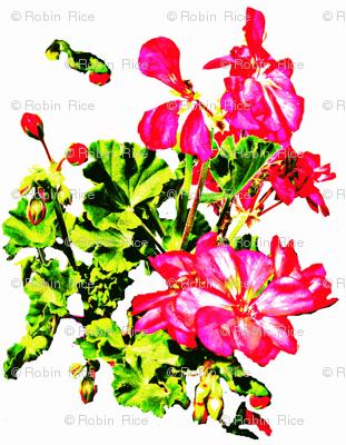 Jody's Geraniums