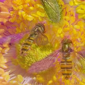 Floral Hoverflies